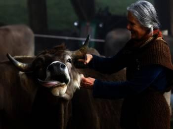 Claudia, isteri Armin Capaul, membersihkan seekor lembu menjelang undi nasional pada 25 November, di ladang Valengiron di Perrefitte dekat Moutier, Switzerland - Foto Reuters.