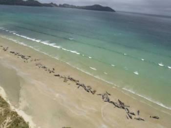 145 paus pilot ditemui terdampar di Pulau Stewart di New Zealand. - Foto NZHerald