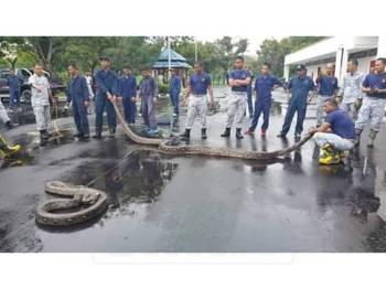 Anggota Bomba TLDM berjaya tangkap ular sedang mengawan dalam Pangkalan TLDM Lumut hari ini. - Foto pembaca