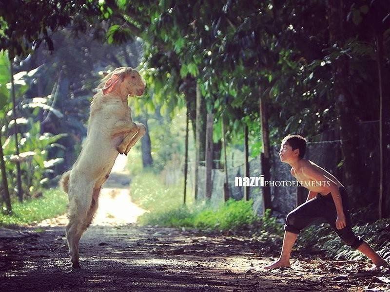 Gambar Syukor bergurau dengan kambing yang dikongsi Nazri Sulaiman dalam facebook beliau.