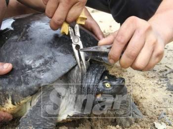 Tiga sukarelawan TCS berusaha mengeluarkan mata kail yang terkena pada badan tuntung jantan.