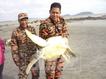 Penyu yang berjaya diselamatkan sebelum dilepaskan semula ke laut.