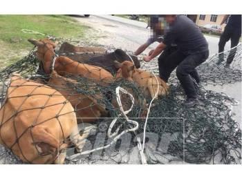 Operasi di jalan Che Lijah berjaya menangkap beberapa ekor lembu berkeliaran.