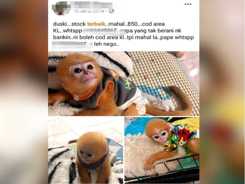 Antara iklan mempromosikan penjualan haiwan eksotik yang popular di Facebook sekarang ini.