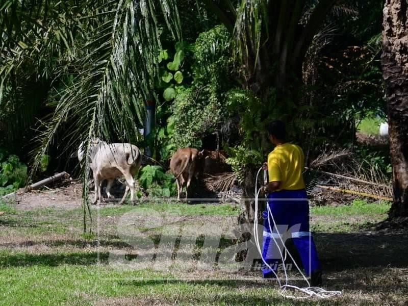 Lembu yang dibiarkan lepas ditangkap penguatkuasa MDKS dalam operasi bersepadu di daerah ini.