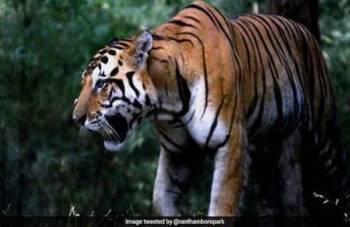 Serangan harimau kerap berlaku terutamanya di kawasan terpencil di India.