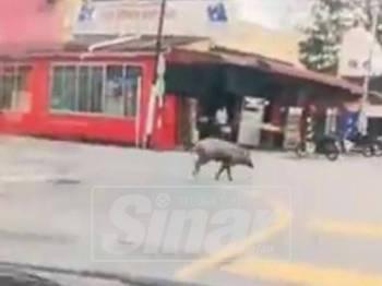 Visual berdurasi 19 saat tentang kemunculan babi hutan dipercayai dirakam oleh pengguna jalan raya yang melalui kawasan di Banda Hilir.