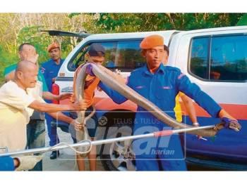 Anggota APM bersama tedung selar yang ditangkap di Kampung Padang Lalang, Klewek.