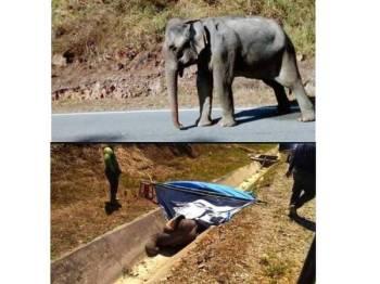 Gajah betina yang mempunyai ulser kronik di bahagian mulut mati akibat kekurangan nutrisi, semalam.