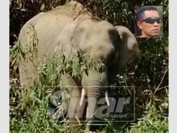 Gajah jantan yang muncul sejak beberapa hari lalu di tebing Sungai Tembeling menjadi tarikan pelancong. Gambar kecil, Afzal.