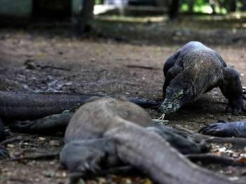 Biawak komodo disenaraikan sebagai spesies terancam.