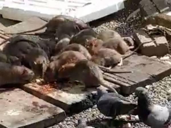 Ancaman tikus tanah yang dibangkitkan penduduk SUTRA 1 yang didakwa berlarutan sejak lebih 10 tahun.