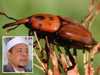 Kumbang merah Palma. Gambar kecil: Che Alias Hamid