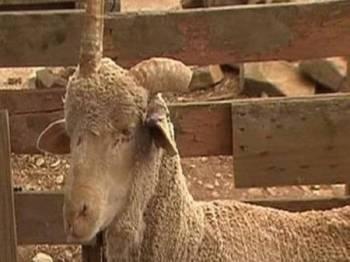 Kambing tersebut memiliki tanduk di tengah kepala seperti seekor unikorn. - Foto 7NEWS.com.au