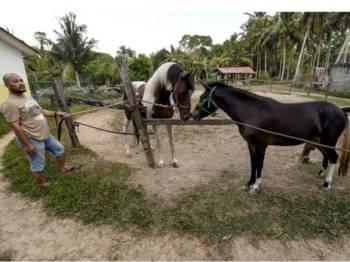 Noorisyam memberikan ruang untuk kudanya bernama Sabiq mengenali pasangan bersama kuda betina sebelum melakukan proses pembiakbakaan kudanya di Kubang Kerian di sini. Foto: Bernama