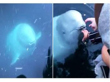 Seekor paus beluga mengembalikan telefon bimbit yang terjatuh ke dalam laut kepada seorang gadis. - Foto Epoch Times