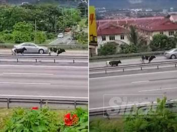 Sedutan dari video tular menunjukkan dua ekor lembu itu berlari di lorong kanan di lebuhraya Rawang menghala Kuala Lumpur.