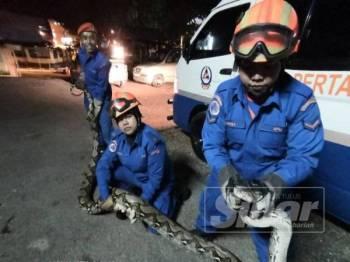 Anggota wanita APM Padang Terap bersama ular sawa seberat 90kg yang berjaya ditangkap.