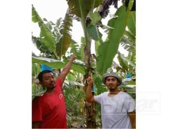 Indra Akmal (kiri) dan Mohammad Amirul menunjukkan kesan sabit pada tandan pisang yang dicuri dalam kejadian baru-baru ini.