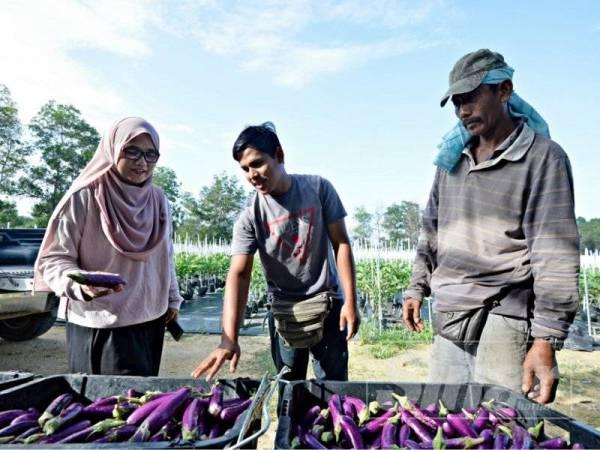 Dr. Nur Aainaa Syafini menunjukkan hasil tuaian tanaman terung yang dijalankan menggunakan teknologi fertigasi dalam kampus UMP.