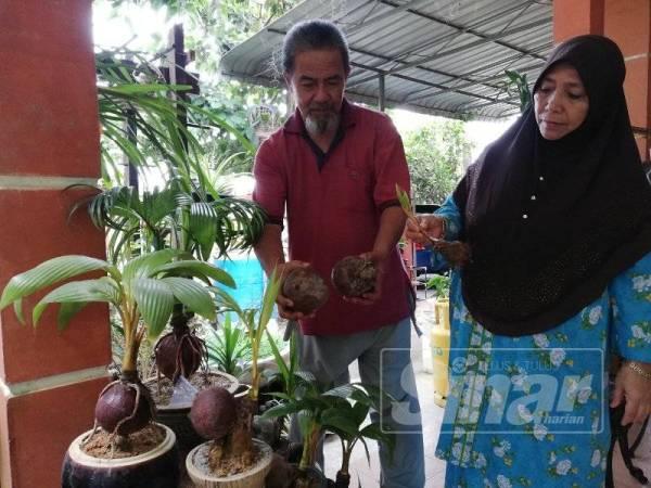 Zainal dan isterinya, Noridah Abd Hamid, 58 menunjukkan hiasan kelapa yang dirosakkan oleh monyet.
