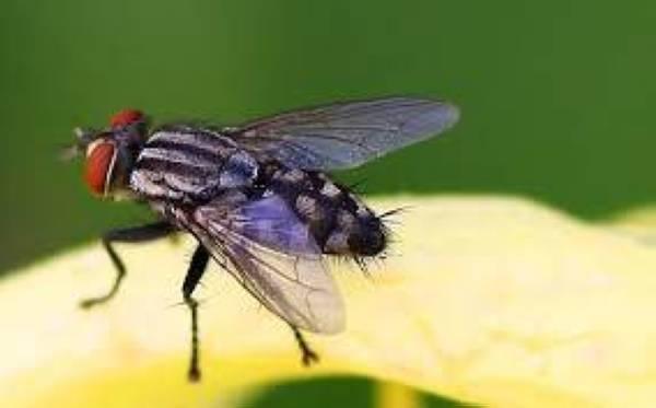 KEHADIRAN lalat sememangnya menjijikkan.