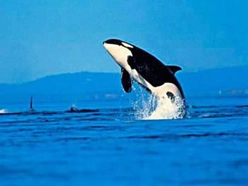 Paus Orca atau Killer Whale muncul buat pertama kali di perairan Terengganu dengan kehadirannya dikesan berhampiran Pelantar Dulang Petronas di perairan Kerteh pada Selasa.