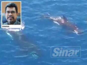 Kemunculan sepasang paus Orca atau dikenali sebagai paus pembunuh yang berjaya dirakam berhampiran Pelantar Dulang Petronas di perairan Kerteh pada Selasa lalu.