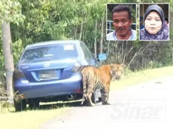 Kelibat pak belang dilihat berkeliaran di sekitar Kampung Besol Lama, Bukit Besi, Dungun sejak jam 9 pagi hari ini. Gambar kecil: Mohd dan Jamilah