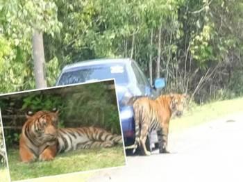 Harimau yang masuk ke Kampung Besol Lama, Bukit Besi, Dungun semalam kelihatan agak jinak. Gambar kecil, gambar tular salah seekor harimau belang yang berkeliaran di Kampung Besol Lama, Bukit Besi, Dungun semalam.