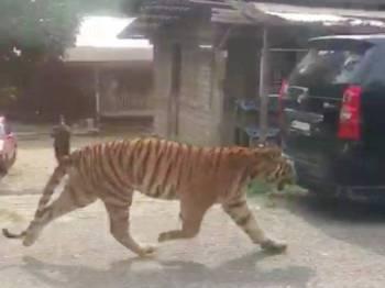 Harimau belang yang berkeliaran di Kampung Besol Lama, Bukit Besi di Dungun masuk ke hutan semula kira-kira jam 5.30 petang semalam.