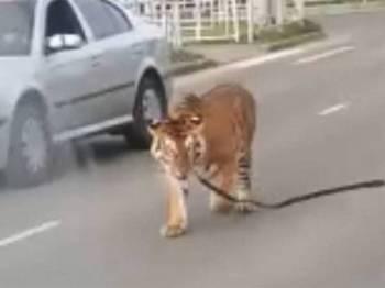Harimau itu terlepas ketika ia dibawa 'bersiar-siar' sekitar bandar Ivanovo.