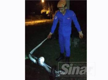 Anggota APM menangkap ular sawa berkenaan menggunakan alatan khas di Kampung Manal di sini tengah malam semalam.