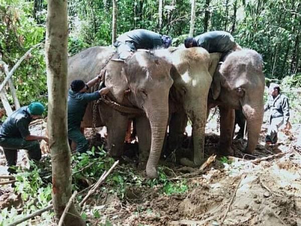 Proses pemindahan gajah liar sedang dilakukan anggota Jabatan Perhilitan Kelantan dan PKGK di sini hari ini.