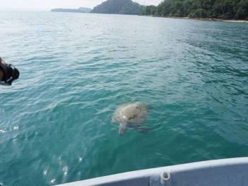 Seekor penyu agar ditemukan mati dalam keadaan terapung di kawasan perairan berhampiran Pantai Pasir Tengkorak pagi tadi. - Foto BERNAMA