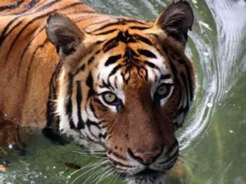 Harimau malaya - Foto sumber internet