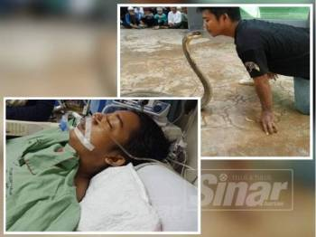 Aksi Muhammad Hafiz mencium ular tedung selar dan gambar kiri, Muhammad Hafiz ketika ini menerima rawatan di Hospital Tuanku Fauziah selepas dipatuk ular kelmarin.