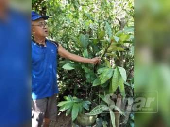 Abdul Aziz menunjukkan pokok Tongkat Ali Hitam yang terdapat di rumahnya di Kampung Muka Bukit di sini.