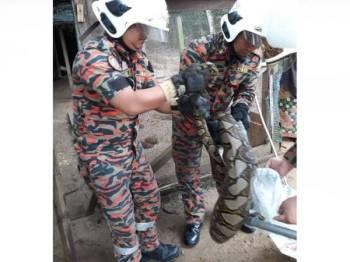 Anggota bomba memasukkan ular sawa yang ditangkap ke dalam guni sebelum dilepaskan ke tempat selamat.