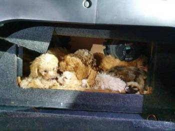 Pemeriksaan ke atas sebuah kenderaan yang masuk ke Singpura di Woodlands menemukan 10 ekor anak anjing dan dua ekor anak kucing yang disumbat dalam kotak pembesar suara.