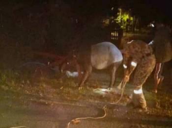 Tapir yang diselamatkan cuba meloloskan diri dan lari namun ditemui semula dalam keadaan lemah. Foto: facebook Hilmi Harun