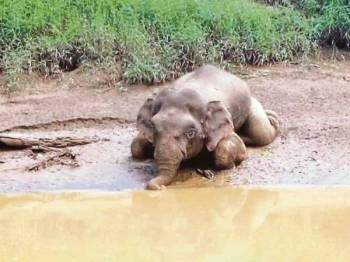 Gajah Pygmy Borneo yang ditemui dengan kesan tembakan di Sungai Udin, Dumpas, Kalabakan, di Tawau. - Foto Jabatan Hidupan Liar