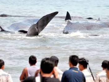 Penduduk tempatan melihat beberapa ikan paus yang terdampar di pantai berhampiran. - Foto Agensi