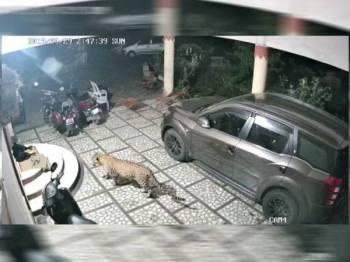 Video berdurasi 44 saat menunjukkan kejadian harimau bintang menyerang anjing didakwa berlaku di Kampung Perik,di sini, yang tular mencetuskan kegelisahan awam.