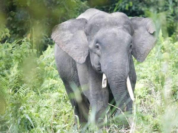 Gajah pygmy - Foto internet