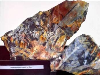 Fosil tumbuhan yang dianggarkan berusia 300 juta tahun yang diserahkan oleh Jabatan Mineral dan Geosains Malaysia kepada Universiti Malaysia Terengganu (UMT) hari ini.  - Foto Bernama