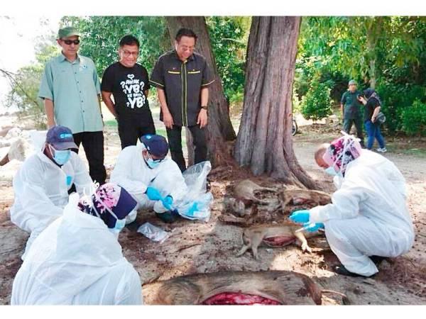 Norhizam (tengah), Aidi (kanan) dan Mohd Hasdi melihat kakitangan Jabatan Veterinar mengambil pensampelan babi hutan yang berjaya ditembak di Pulau Besar di sini hari ini.