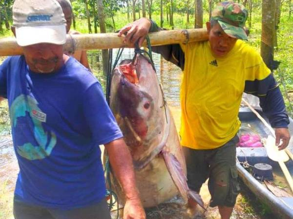 Ikan patin buah seberat 150kg yang berjaya ditangkap Azahar dan rakan-rakan. - Foto ihsan pembaca