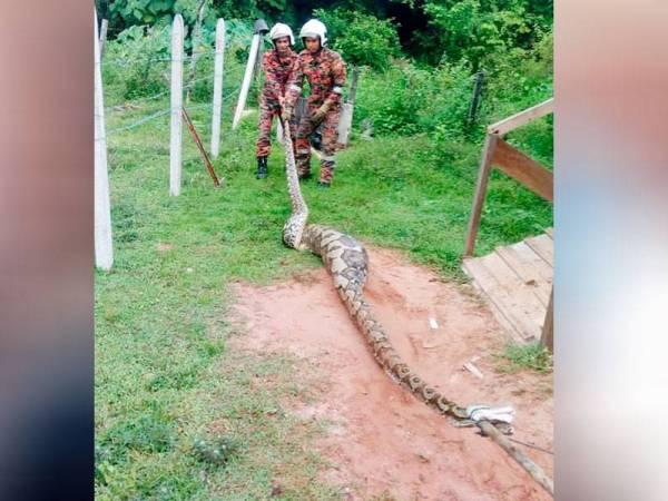 Anggota bomba berjaya menangkap seekor ular sawa seberat 80 kilogram.