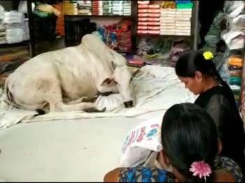 Lembu terbabit pertama kali memasuki kedai itu pada musim panas lalu.